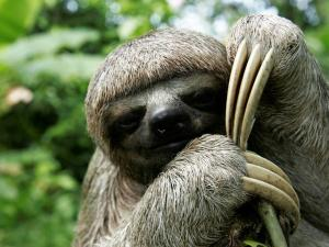 sloth_(c)_Jorge_Salas_International_Expeditions